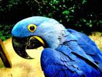 chu - Blue-and-yellow Macaw (8 years)