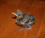 Kaisa - Blackbird