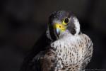 Turkey - Male Peregrine Falcon (2 years)