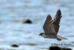 libertad - Peregrine Falcon (1 year)