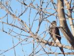 Hawk - Male Peregrine Falcon (8 years)