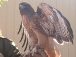 Hawk Wings - Male