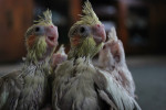 Baby cockatiels - (1 month)