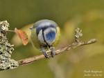 mesange bleue -
