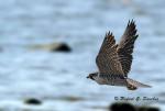 faucon pèlerin -