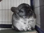 Biscote - Chinchilla (5 years)