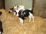 Reebok et Fanny - Cow