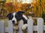 Un Border Collie se tient debout devant une clôture