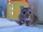 Laly - Hamster (10 months)
