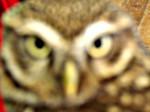 Minnie - Owl (3 years)