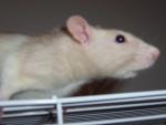 Molly - Rat (2 years)
